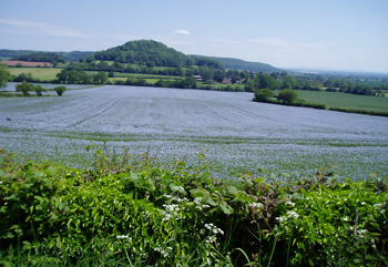 Photograph of Linseed field taken by Ian Oliver of Powell and Oliver