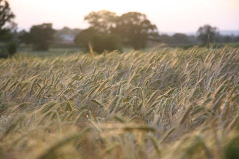 Photograph of crop field